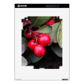 Procumbens del Gaultheria del Teaberry Calcomanía Para iPad 2