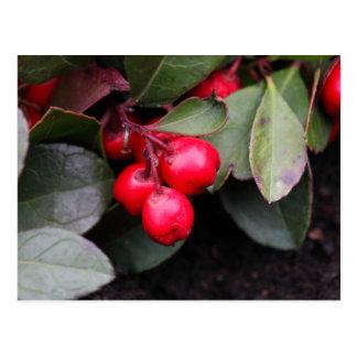 Procumbens del Gaultheria del Teaberry Postal