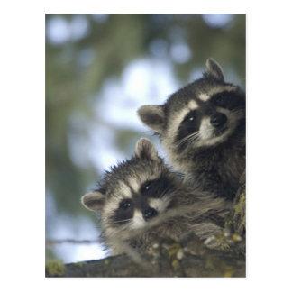 Procyon Lotor de los mapaches del lago fish cent Postales