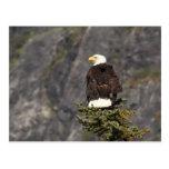 Productos de Eagle calvo Tarjetas Postales