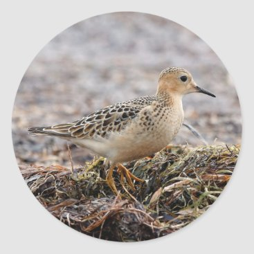 Beach Themed Profile of a Buff-Breasted Sandpiper at the Beach Classic Round Sticker