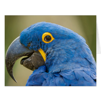 Profile of a Hyacinth Macaw Card