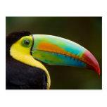 Profile of a Keel-billed Toucan Postcard