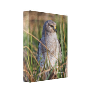 Profile of a Northern Harrier Canvas Print