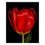 Profile of a Red Tulip Print