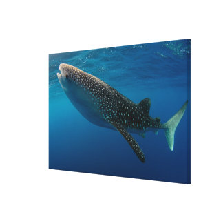 Profile of a whale shark, Indonesia Canvas Print