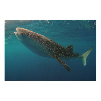 Profile of a whale shark, Indonesia Wood Wall Decor
