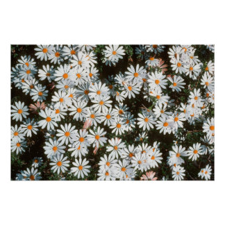 Profusion Of White Daises (Asteraceae) Poster