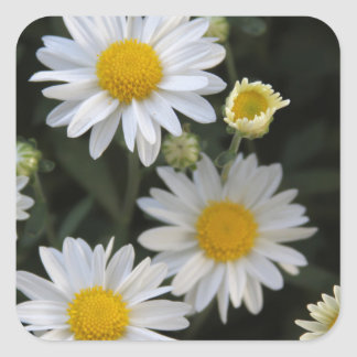 Profusion Of White Daisy Mums Square Sticker