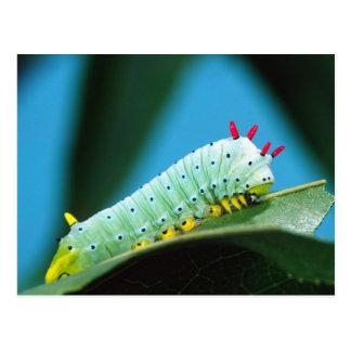 Prometheus Moth Caterpillar, Callosamia Postcard