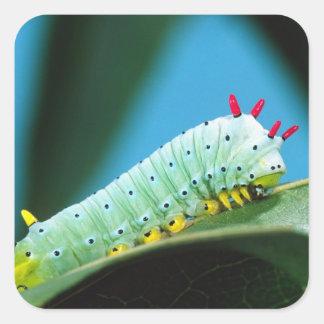 Prometheus Moth Caterpillar, Callosamia Square Sticker