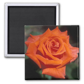 Prominent Rose 2 Inch Square Magnet