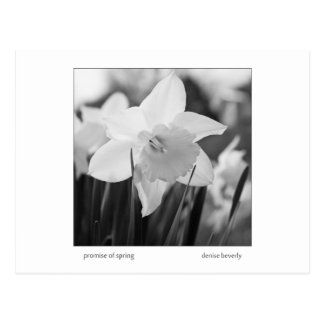 promise of spring daffodil jonquil black and white postcard