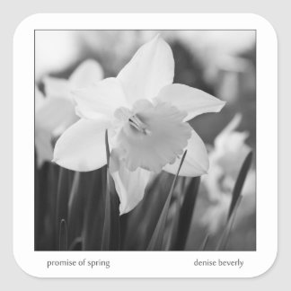 promise of spring daffodil jonquil black and white square sticker
