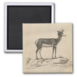 Prong-Horned Antilope 2 Inch Square Magnet