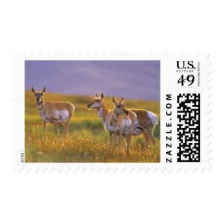 Pronghorn Antelope in Montana Postage Stamp