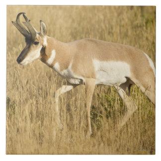 Pronghorn, Antilocapra americana, en un campo Azulejo Cuadrado Grande