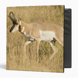 """Pronghorn, Antilocapra americana, en un campo Carpeta 1 1/2"""""""