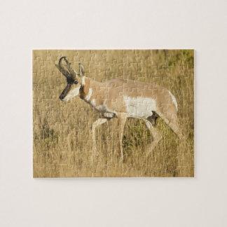 Pronghorn, Antilocapra americana, en un campo Rompecabeza Con Fotos