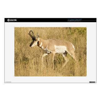 Pronghorn, Antilocapra americana, in a field Laptop Decals