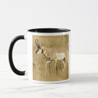 Pronghorn, Antilocapra americana, in a field Mug