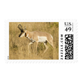 Pronghorn, Antilocapra americana, in a field Postage