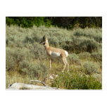Pronghorn at Grand Teton National Park Postcard