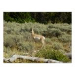 Pronghorn at Grand Teton National Park Poster