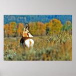 Pronghorn buck, Antilocapra Americana Poster