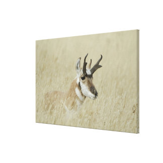 Pronghorn male resting, Yellowstone NP,Wyoming Canvas Print