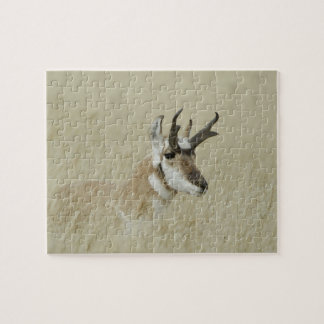 Pronghorn male resting, Yellowstone NP,Wyoming Jigsaw Puzzle