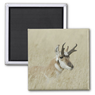 Pronghorn male resting, Yellowstone NP,Wyoming 2 Inch Square Magnet