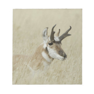Pronghorn male resting, Yellowstone NP,Wyoming Notepad