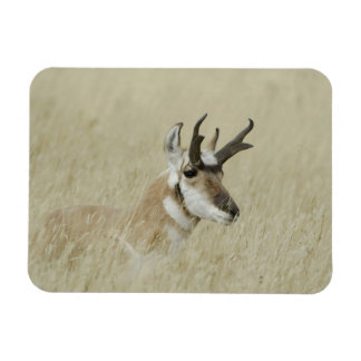 Pronghorn male resting, Yellowstone NP,Wyoming Rectangular Photo Magnet