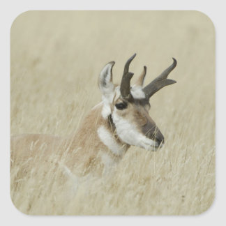 Pronghorn male resting, Yellowstone NP,Wyoming Square Sticker