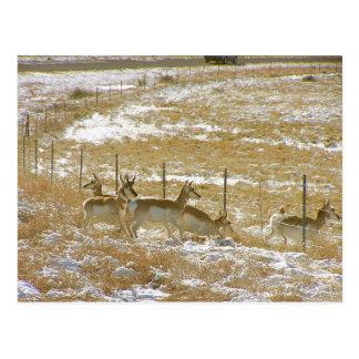 Pronghorns Probing Fence Postcard