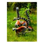 Prosimians atados anillo del lemur de la alegría d postal