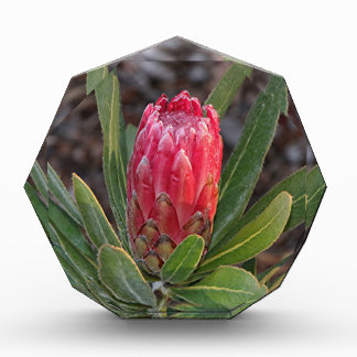 Protea flower with raindrops acrylic award
