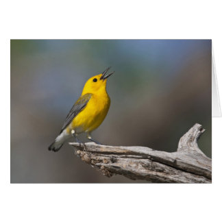 Prothonotary Warbler adult male in spring, Texas 2 Card
