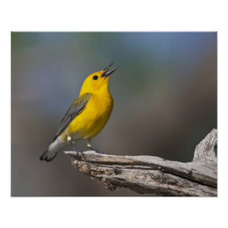 Prothonotary Warbler adult male in spring, Texas 2 Poster