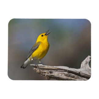 Prothonotary Warbler adult male in spring, Texas 2 Magnet