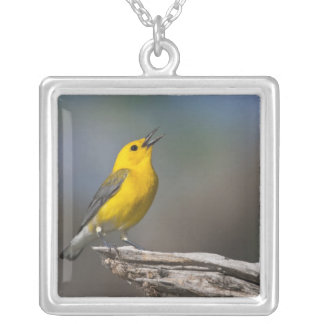 Prothonotary Warbler adult male in spring, Texas 2 Square Pendant Necklace