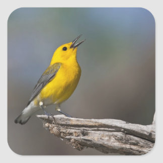 Prothonotary Warbler adult male in spring, Texas 2 Square Sticker