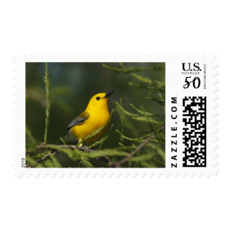 Prothonotary Warbler adult male in spring, Texas Postage