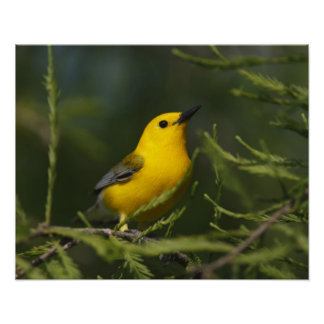Prothonotary Warbler adult male in spring, Texas Print