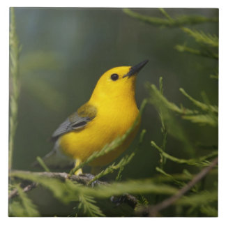 Prothonotary Warbler adult male in spring, Texas Tile