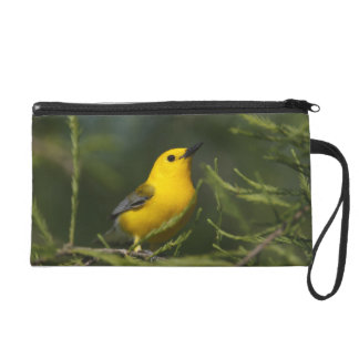 Prothonotary Warbler adult male in spring, Texas Wristlet