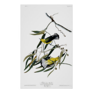 Prothonotary Warbler Birds of America Audubon Poster