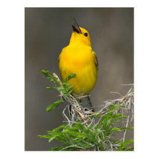 Prothonotary Warbler (Prothonotaria Citrea) Male Post Card