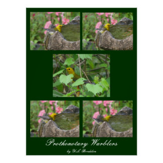 Prothonotary Warblers Poster